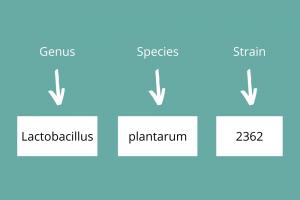 Which lactic acid bacteria work best - Super Synbiotics